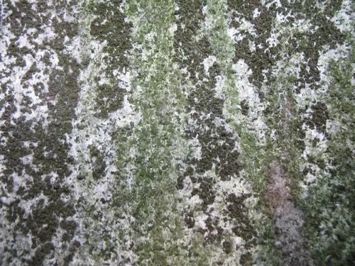 Налет водорослей на сером мелкозернистом гнейсовидном граните.