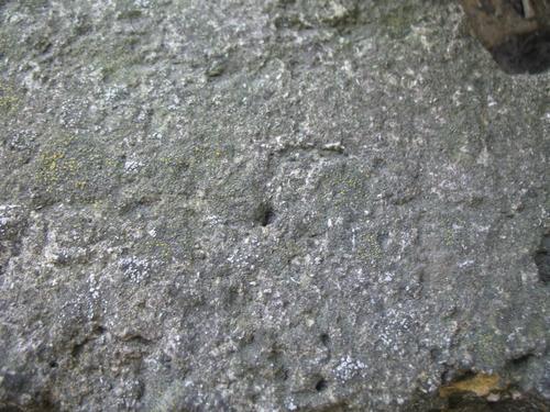 Слоевища накипных лишайников на путиловском известняке