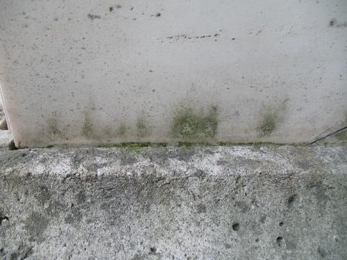Налет водорослей на мраморе и слоевища накипных лишайников на путиловском известняке