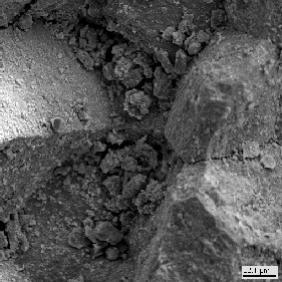 Округлые клетки водорослей,  развивающиеся на поверхности  поврежденного мрамора.